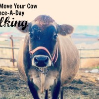 How To Move A Cow To Once A Day Milking