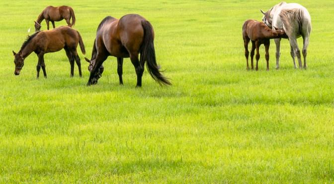 Mares and foals in an Ocala, FL field enjoying green summer grass