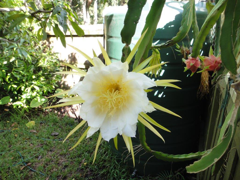 Fullsize Of Dragon Fruit Flower