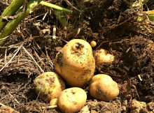 potatoes 9.2