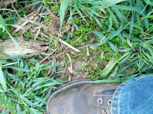 Earthworm in cover crop