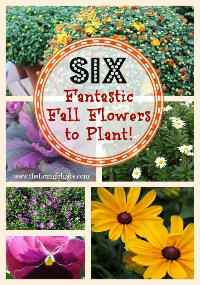 Six fantastic fall flowers to plant in your garden - Flowers to plant in the fall ...
