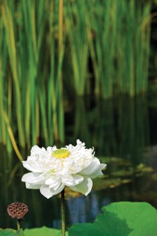 The-lotus-garden-at-Kamalaya