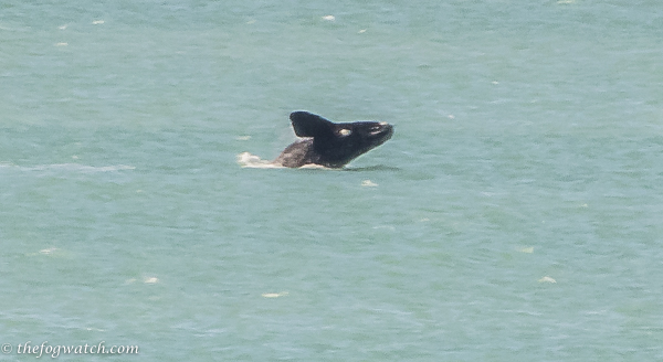 playing Southern Right Whale