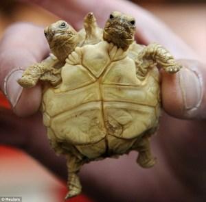 mutant- tortoise-two-heads