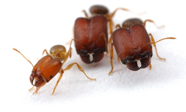 Man-made Monster Ants Created by Genetic Scientists
