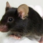 The mutant mouse that tweets like a bird