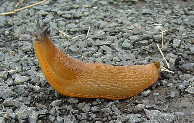 Slug stuck in vagina