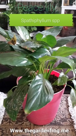 Small Of Peace Lily Brown Leaves