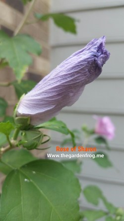 Small Of Rose Of Sharon Hedge