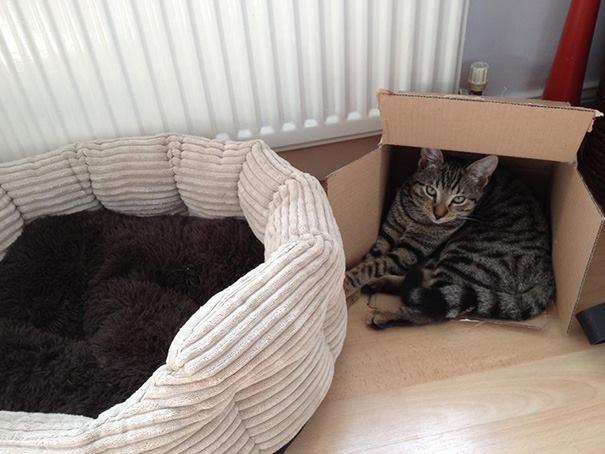 kedi kutu
