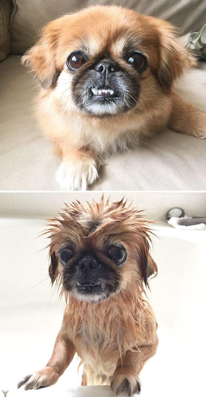 kopekler banyodan önce sonra 14