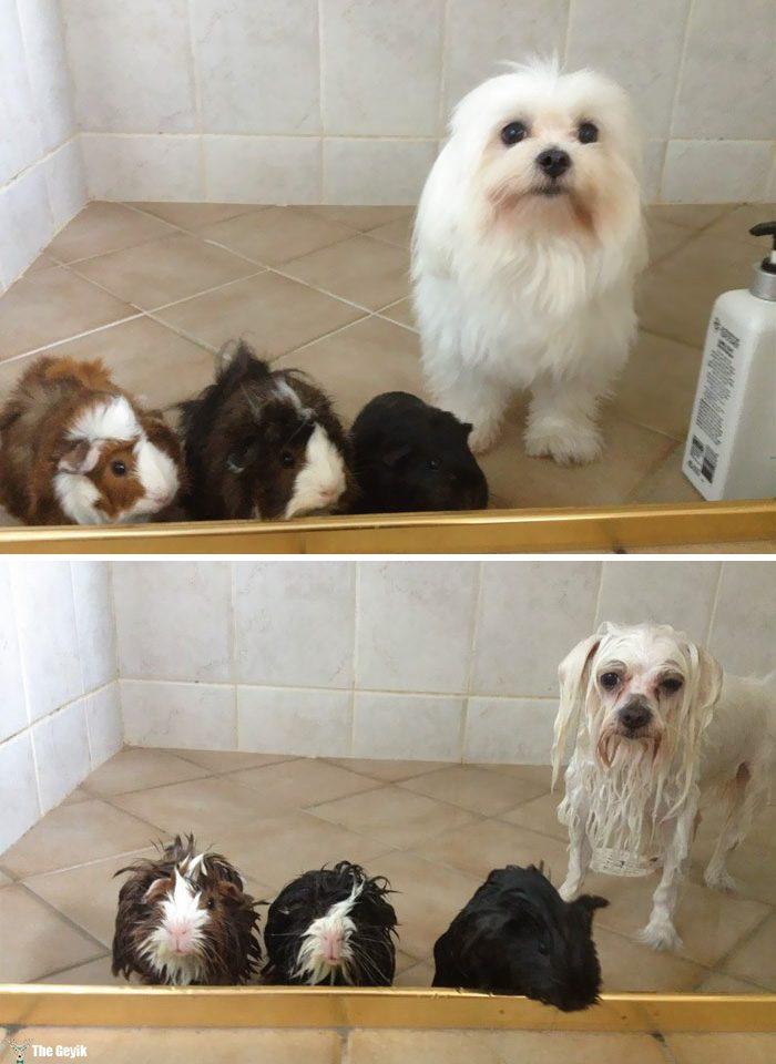 kopekler banyodan önce sonra 3