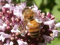 honeybeemd