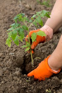 June Gardening: Tomato seedling