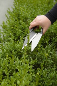 June gardening: trim hedges