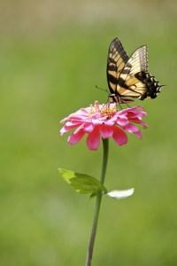 June Gardening: Butterfly