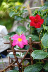 June gardening: Mandevilla can be over-wintered