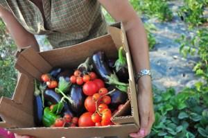 Late Summer Vegetable Harvest