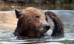 bear scratching head water