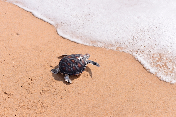 baby sea turtle by ocean