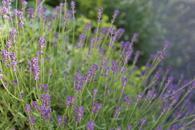 lavender in green diva meg's garden