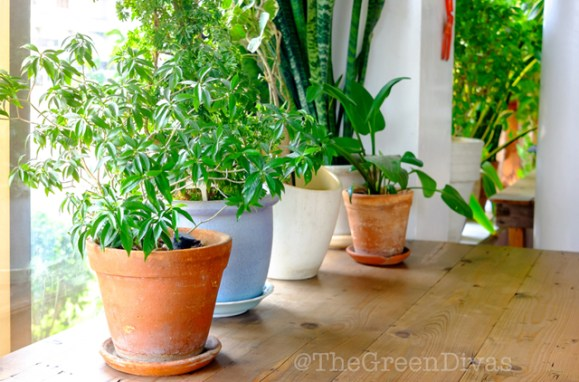 easy-to-grow houseplants anyone can grow on the green divas