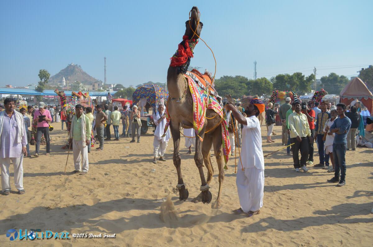Camel dancing competition at the Pushkar Camel Fair 2015