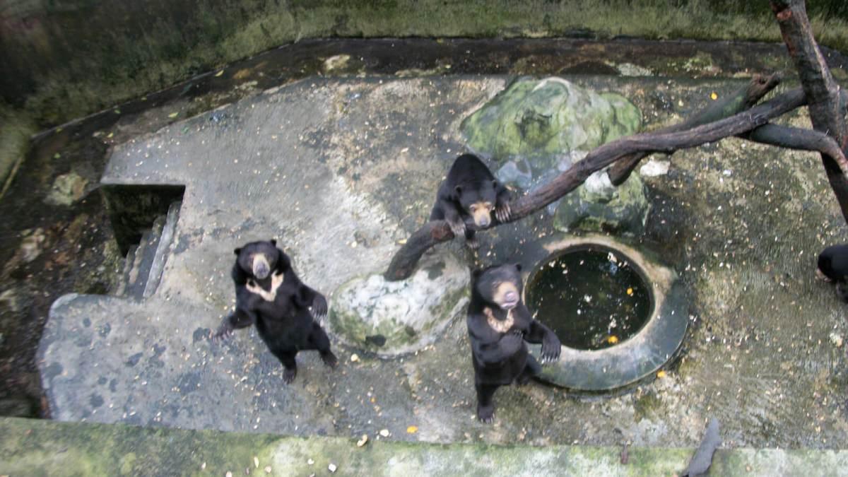 Hungry bears beg for food at Kebun Binatang Bandung Zoo