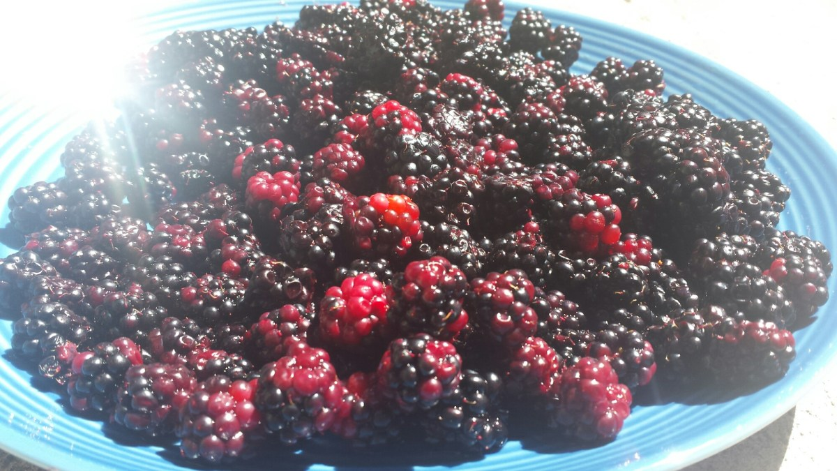 Free blackberries near Metrotown