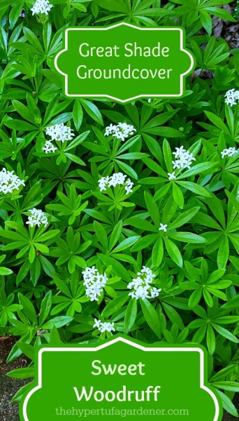 Great Shade Groundcover - Sweet Woodruff