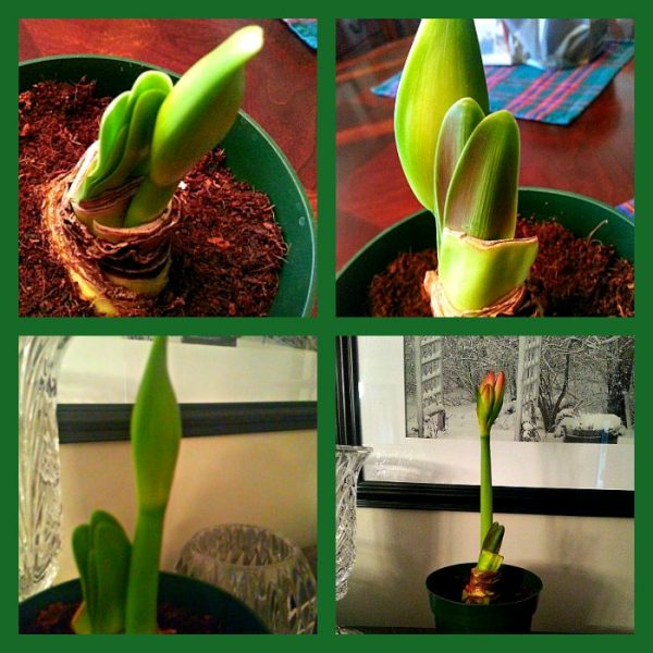 Growth of an Amaryllis - The Hypertufa Gardener