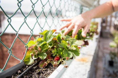 Strawberries planted by one of Clock Tower's residents
