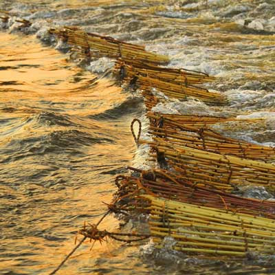 Reed nets at first light, ready to be emptied