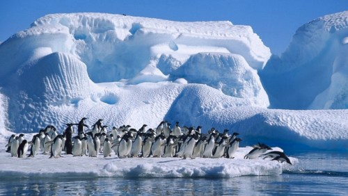 Adelie_Penguins_in_Antarctica