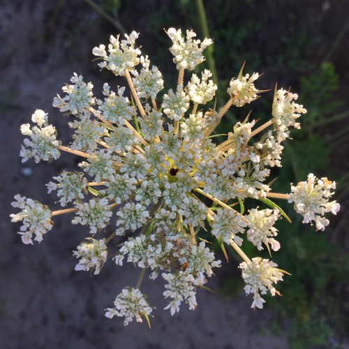 Queen Anne's Lace-Jade-Dressler