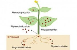 The process of phytoremediation.
