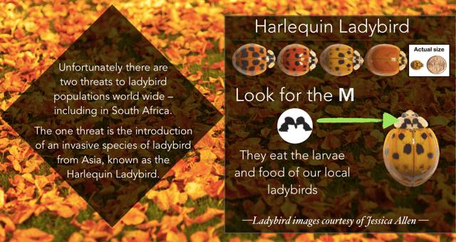 Harlequin_ID