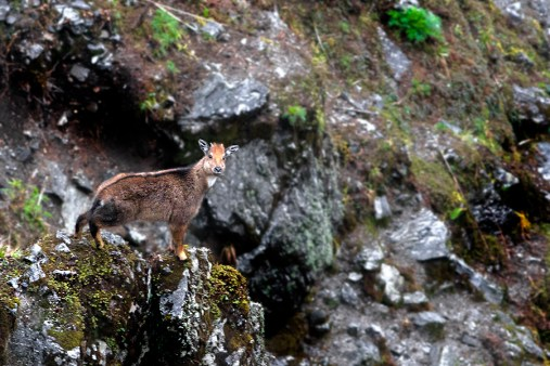 The Himalayan Goral (Credit: Wikimedia Commons)