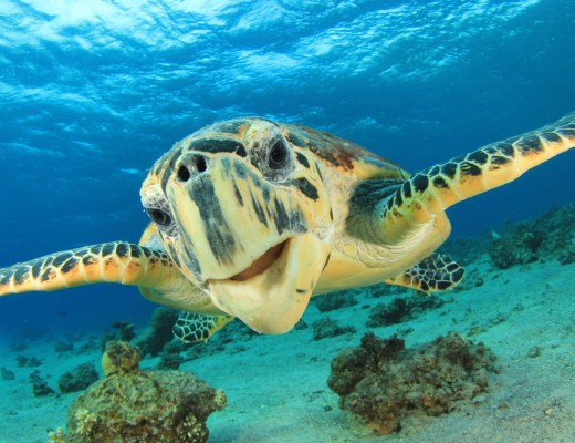 The Hawksbill Turtle is native to Qatar