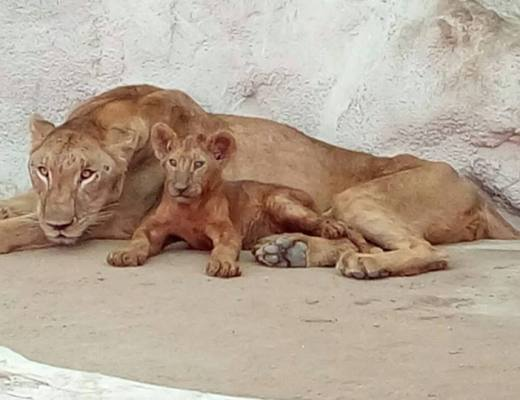 Lioness Lara from Doha Zoo gave birth to five cubs