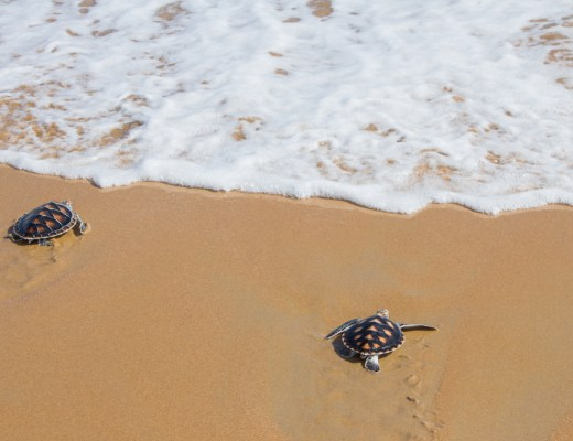Hawksbill Turtles Begin Nesting Season