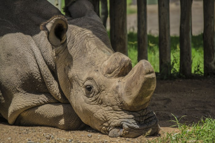 Sudan, the last male northern white rhino at the Ol Pejeta Conservancy in Kenya