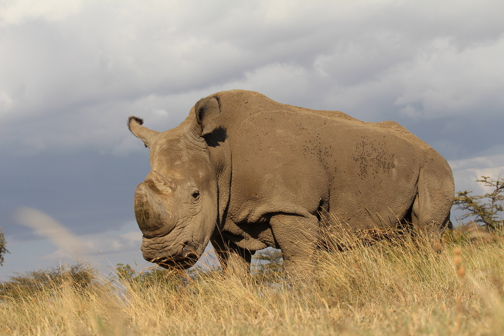 the last male northern white rhino Sudan has died