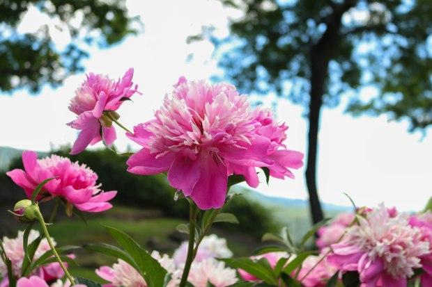 lincoln-family-peonies-4