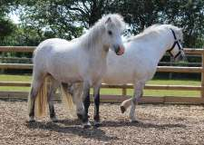 Two of the ponies currently in Bransby's care.
