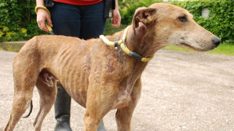 The dogs are severely malnurished and suffering from the skin condition. Photo: RSPCA Lincolnshire and Mid Lincoln