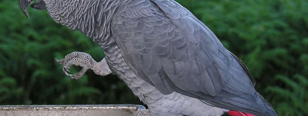 A typical African Grey Parrot. Photo: Luis Miguel Bugallo Sánchez