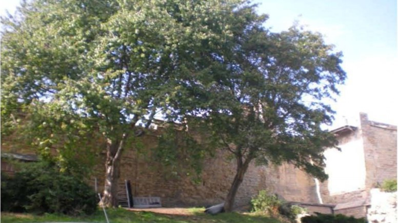 Trees marked for felling in the Lincoln Castle Grounds. Photo: LCC