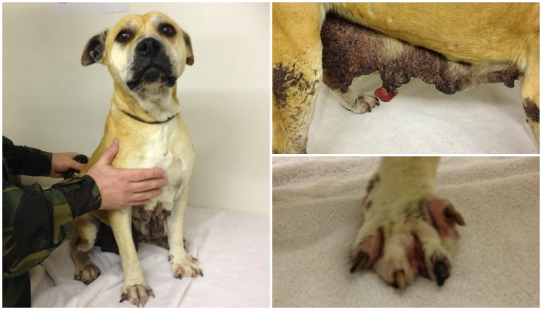 Lexi came to the kennels severely mistreated.